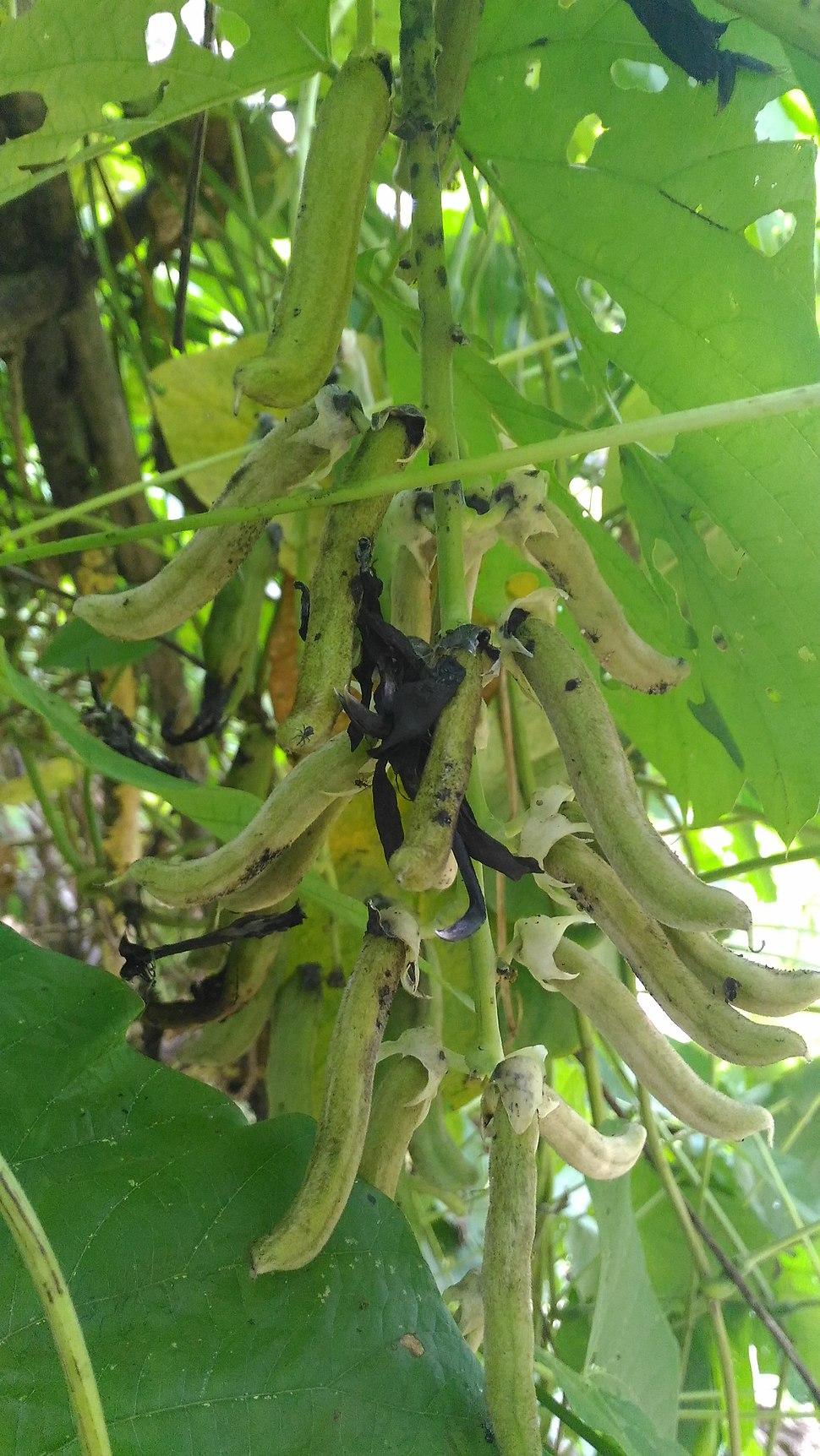 Soybean soyabean fruits