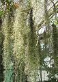 Spanisches Moos (Tillandsia usneoides) 1.jpg