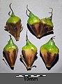 Sparganium erectum subsp. erectum sl14.jpg
