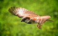 Sparrow in flight.jpg