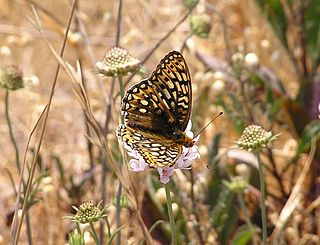 Callippe silverspot butterfly subspecies of insect