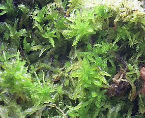 Torfmoos (Sphagnum sp.)