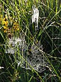 Spider's webs on Hollow Moor - geograph.org.uk - 513454.jpg