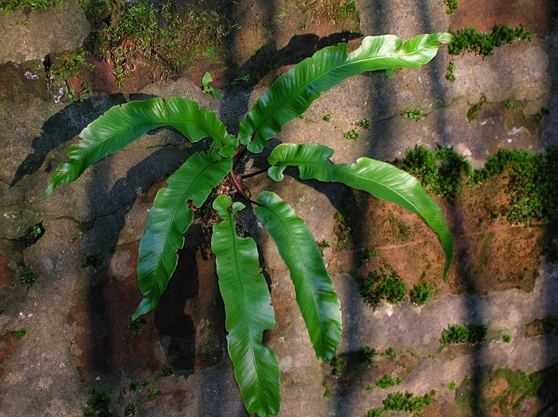 File:Spiers harts tongue fern.JPG