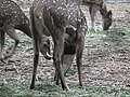 Spotted deer from Bannerghatta National Park 8663.JPG