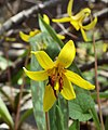 Spring Trout lilies in Ontario forest (26734973315).jpg