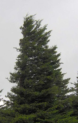 Spruce Knob - Windswept spruce