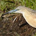 Squacco Heron, Ardeola ralloides at Marievale Nature Reserve, Gauteng, South Africa. (44482196544).jpg