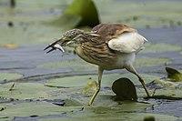 Squacco Heron -Torrile - Italy 1327 (15408492601).jpg