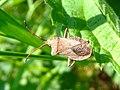 Squash bug (Coreus marginatus), Sandy, Bedfordshire (7286602472).jpg