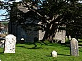 St Nicholas churchyard, Studland, Old Yew - geograph.org.uk - 732938.jpg