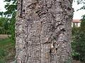 Stamm einer Korkeiche (Quercus suber).JPG