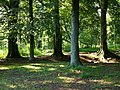 Stansted Forest, beech trees - geograph.org.uk - 449596.jpg
