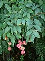 Staphylea pinnata 1.jpg