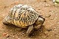 Star Tortoise (Geochelone Elegans) 01.jpg