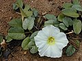 Starr-010309-0539-Ipomoea imperati-flower and leaves-Kalepolepo Kihei-Maui (24505846146).jpg