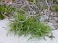 Starr-010520-0029-Setaria verticillata-habit-on beach-Kure Atoll (23904534084).jpg