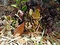 Starr-011104-0036-Unknown crassulaceae-habit-Kalepolepo-Maui (24247705560).jpg