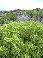 Starr-040331-0083-Senna gaudichaudii-habit-Kanaio-Maui (24072280304).jpg