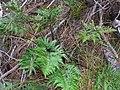 Starr-041221-1807-Asplenium adiantum nigrum-habit-Polipoli-Maui (24354205349).jpg