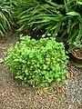 Starr-061108-9778-Marsilea villosa-in pot-Hoolawa Farms-Maui (24240510324).jpg