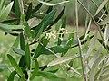 Starr-090430-6684-Olea europaea subsp europaea-leaves and flowers-Waipoli Rd Kula-Maui (24835183912).jpg