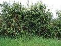 Starr-090514-7851-Ilex aquifolium-fruiting habit-Kula-Maui (24587682339).jpg