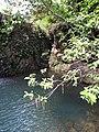 Starr-090702-2035-Psidium guajava-habit and pool-Puaa Kaa Park Hana Hwy-Maui (24341501663).jpg