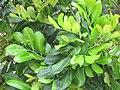Starr-090806-3971-Cupaniopsis anacardioides-leaves-Wailuku-Maui (24971696955).jpg