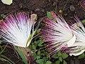 Starr-090813-4177-Barringtonia asiatica-flowers-Kamalii Park Kahului-Maui (24676548110).jpg