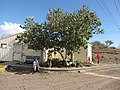 Starr-091221-0788-Hibiscus tiliaceus-habit with Kim Marie and Amanda-Honokanaia-Kahoolawe (24874547522).jpg