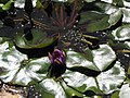 Starr-100114-1274-Nymphaea sp-flowers and leaves-Enchanting Floral Gardens of Kula-Maui (24980577066).jpg