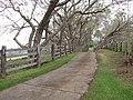 Starr-100504-5913-Jacaranda mimosifolia-along drive-Kula-Maui (24410660153).jpg