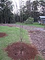 Starr-110217-1528-Pyrus communis-4 N 1 Hood Florida Home Monterey and Comice just planted-Olinda-Maui (24958314572).jpg