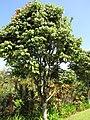 Starr-110330-4027-Canarium ovatum-habit-Garden of Eden Keanae-Maui (24454259453).jpg