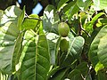 Starr-110330-4030-Canarium ovatum-fruit and leaves-Garden of Eden Keanae-Maui (24713458359).jpg