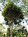 Starr-110330-4043-Canarium ovatum-habit-Garden of Eden Keanae-Maui (24987839951).jpg