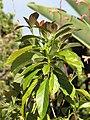 Starr-110331-4332-Persea americana-leaves-Shibuya Farm Kula-Maui (24713920379).jpg