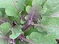 Starr-110411-4968-Solanum melongena-habit in vegetable garden-Hawea Pl Olinda-Maui (25056205226).jpg