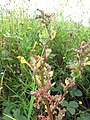 Starr-110503-5456-Chenopodium murale-leaves and seeds-Kula-Maui (25094744915).jpg