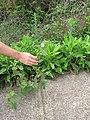 Starr-110722-7152-Urena lobata-flowering habit-Waihee Ridge Trail-Maui (24982377602).jpg