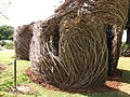 Starr-111003-0364-Fraxinus uhdei-branches turned into art display-Hui Noeau Makawao.jpg-Maui (24750304919).jpg