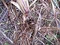 Starr-120620-7495-Cenchrus purpureus-purple bana grass rooting at nodes-Kula Agriculture Station-Maui (25052498161).jpg