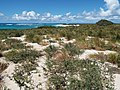 Starr-130910-0776-Conyza bonariensis-habit view camp-Camp-Laysan (25103690842).jpg
