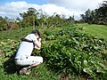 Starr-170224-0929-Solanum muricatum-flowering habit with Sumio-Hawea Pl Olinda-Maui (32998486260).jpg