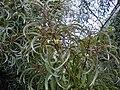 Starr 010822-0047 Acacia koaia.jpg