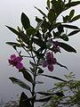 Starr 011205-0047 Rhodomyrtus tomentosa.jpg