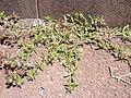 Starr 030523-0123 Hedyotis corymbosa.jpg