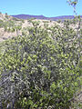 Starr 040723-0043 Myoporum sandwicense.jpg