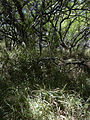 Starr 040902-0011 Prosopis pallida.jpg